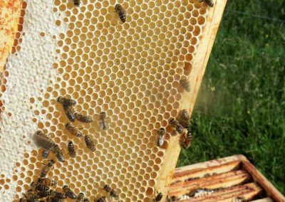 récolte du miel de printemps