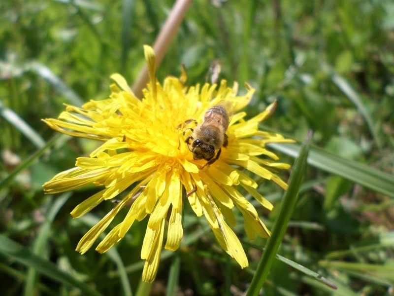 abeille sur pissenlit