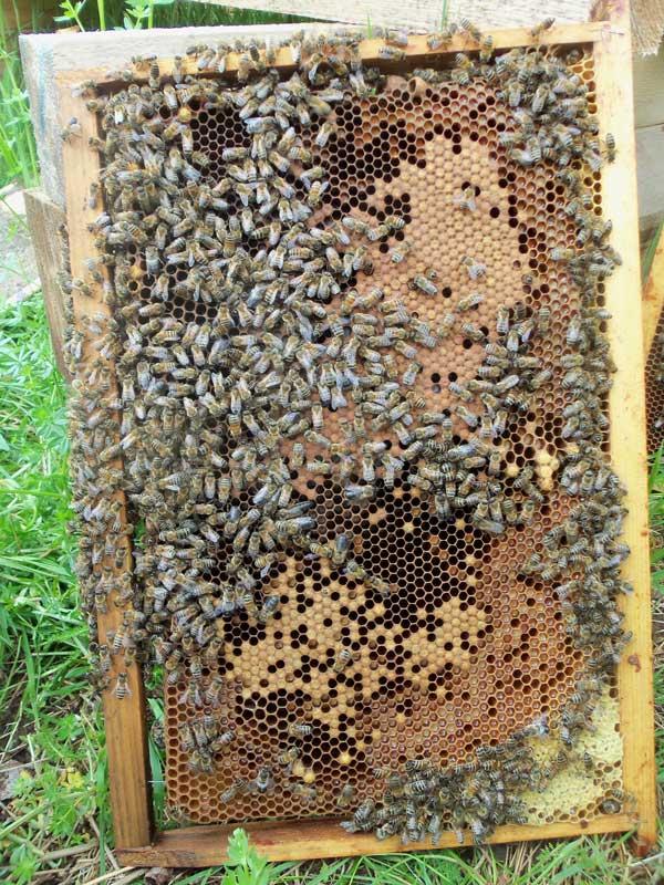 cadre de couvain et pollen