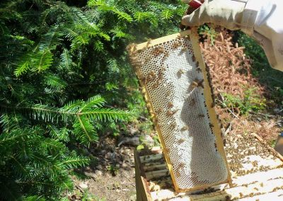 récolte du miel de sapin des Vosges