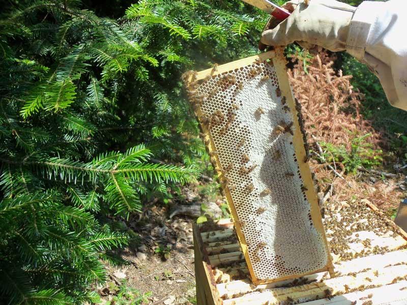 récolte du miel de sapin des Vosges AOP