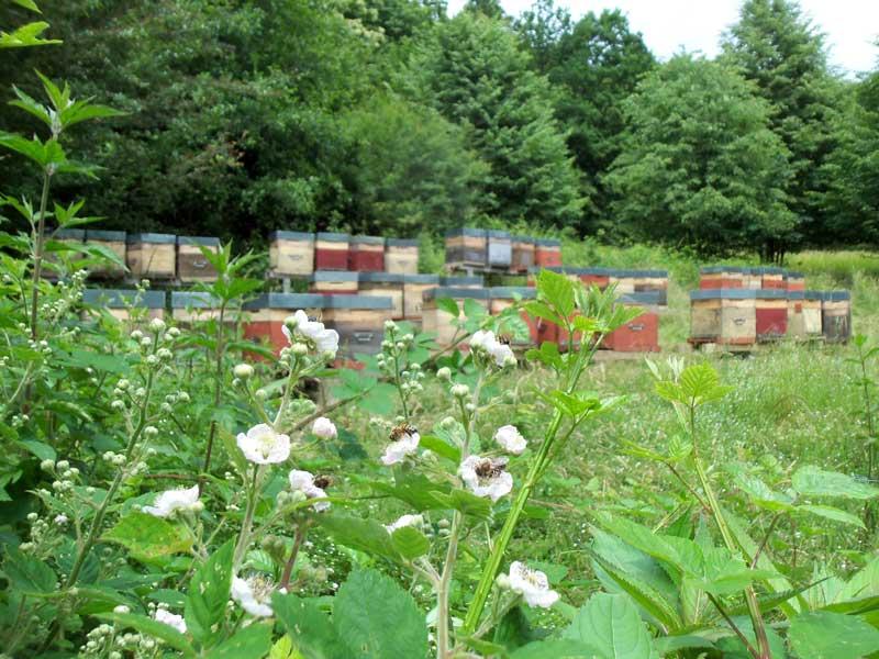 abeilles sur la ronce