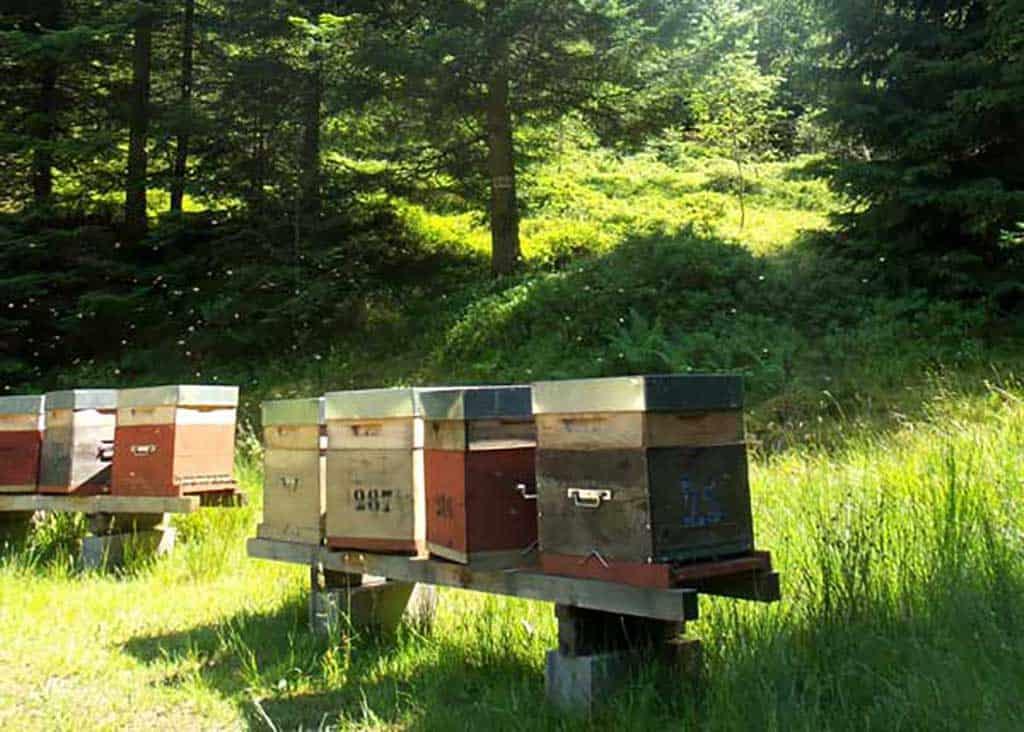 un de nos ruchers dans les Vosges - miel de sapin des Vosges AOP